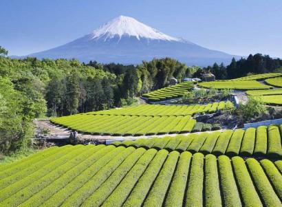 Green Tea Fields