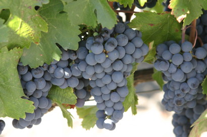 blue-grapes