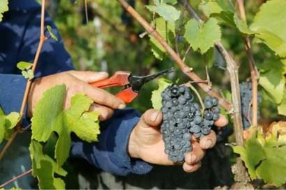 grapes-cut